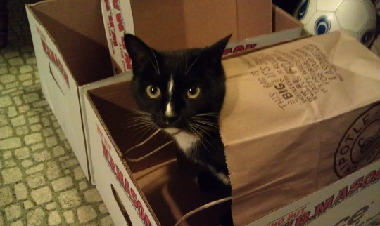 Prissy Pants hiding in a bag within a box... her dream come true!